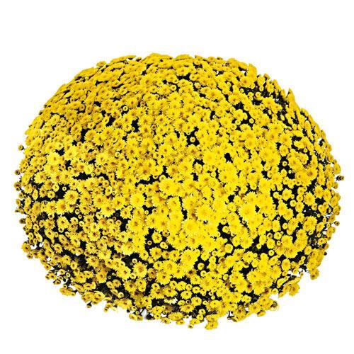 Sparkling Yellow Garden Mum