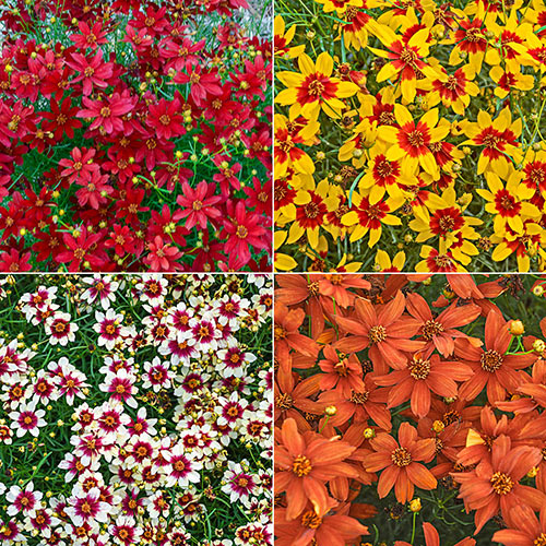 Breck's® Savory Coreopsis Collection