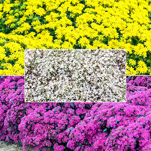 """Breck's® """"We've Got That Covered"""" Sedum Collection"""