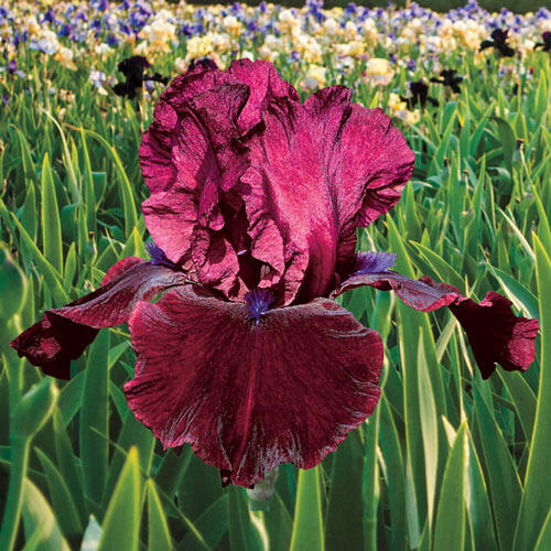 Redneck Girl Bearded Iris