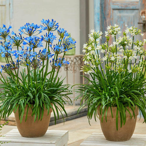 Summer Love™ Agapanthus