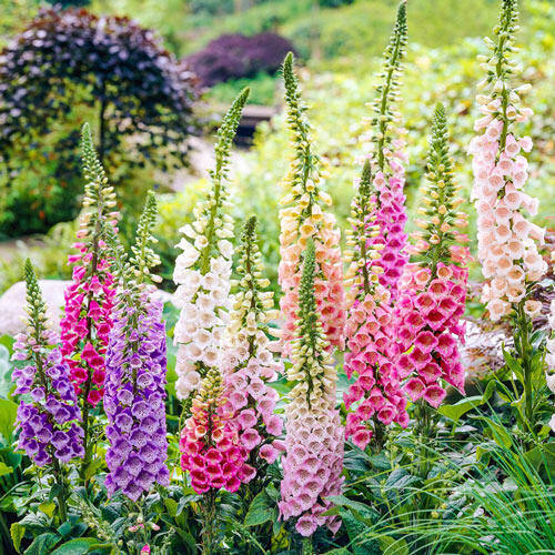 Excelsior Foxglove Mixture