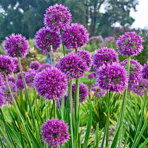 Lavender Bubbles Ornamental Onion