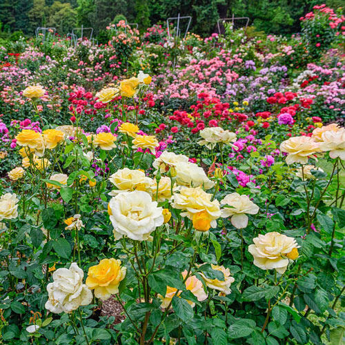 Landscape Rainbow of Roses