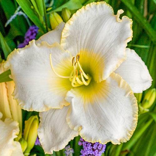 Early Snow Reblooming Daylily