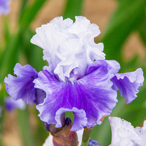 Nehalem Bay Bearded Iris