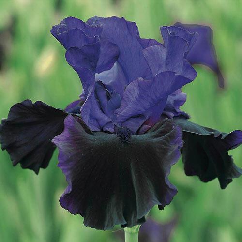 Midnight Treat Bearded Iris