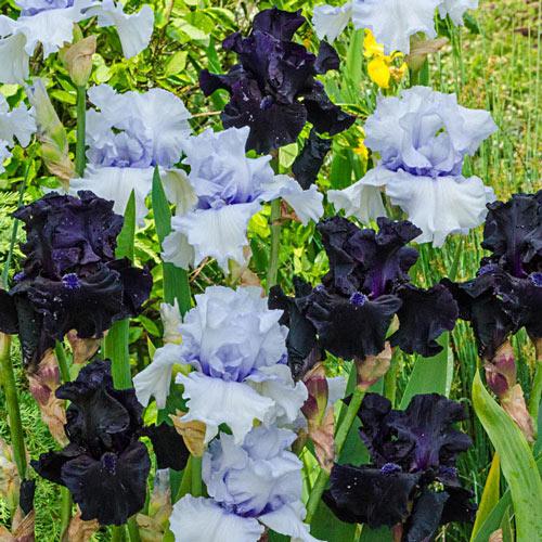 Magical Moments Bearded Iris Duet
