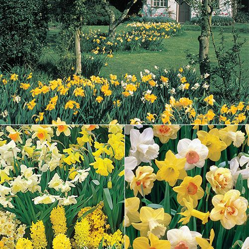 Three Months of Daffodils