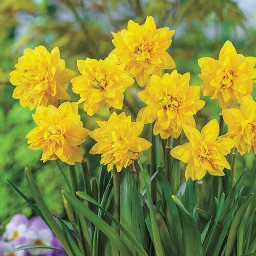 Tête Bouclé Daffodil