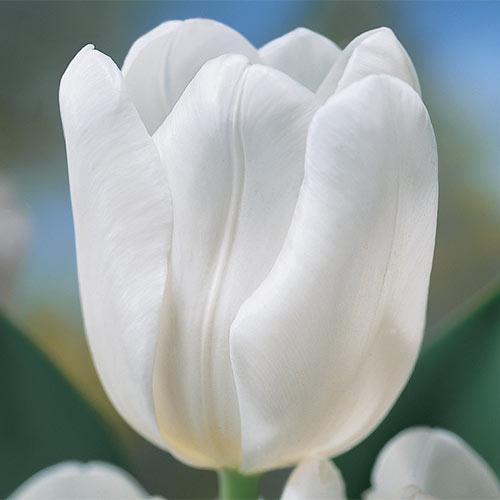 The Ice Princess Tulip