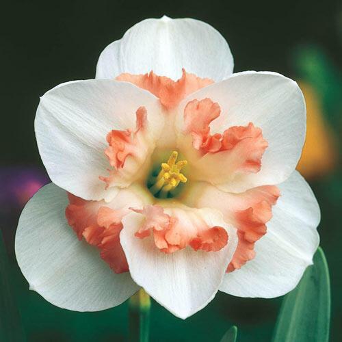Pink Wonder Daffodil