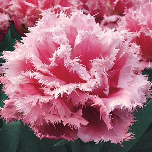 Queensland Tulip