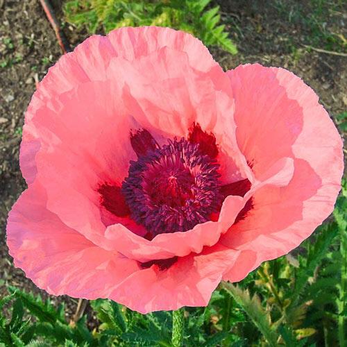 Helen Elizabeth Oriental Poppy