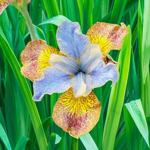 Ginger Twist Siberian Iris