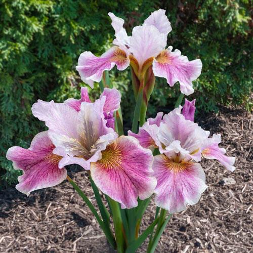 Fancy Me This Siberian Iris