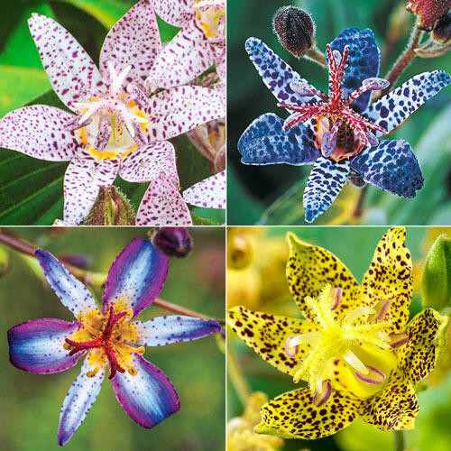 collage of four toad lily flowers - top left is white with red spots, to pright is whitish blue with dark blue spots, bottom left is white, blue, and purple striped petal toad lily, and the bottom right is yellow with dark red spots