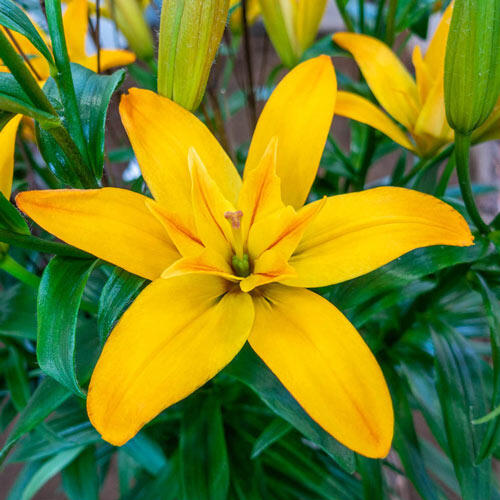 Gold Twin Lily
