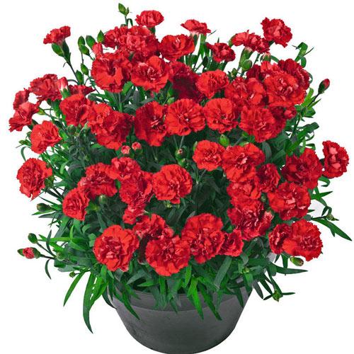 Vulcano Carnation