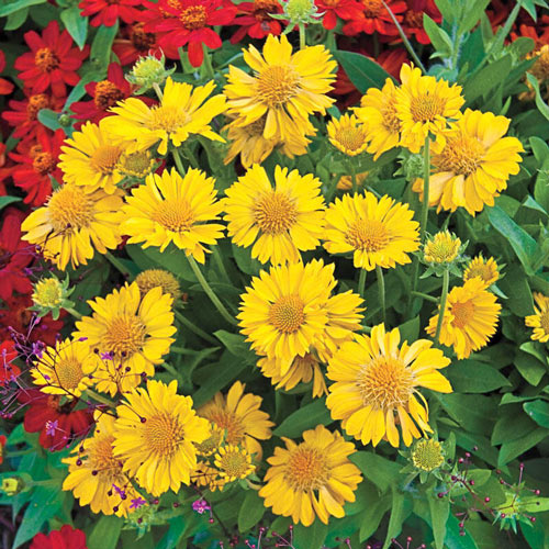 Mesa Yellow Gaillardia