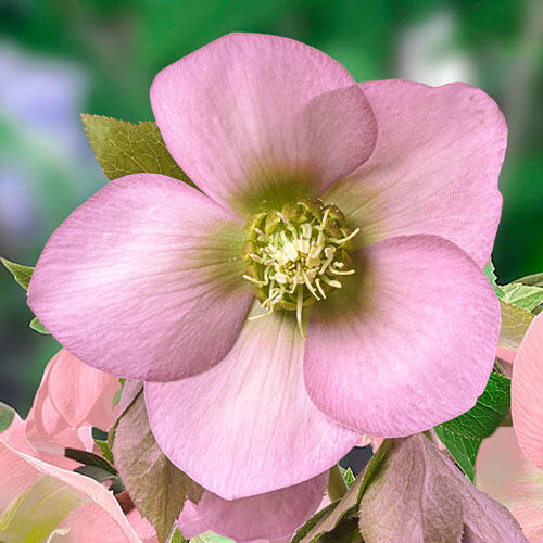 Morning Chill Hellebore