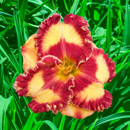 Band of Fire Reblooming Daylily