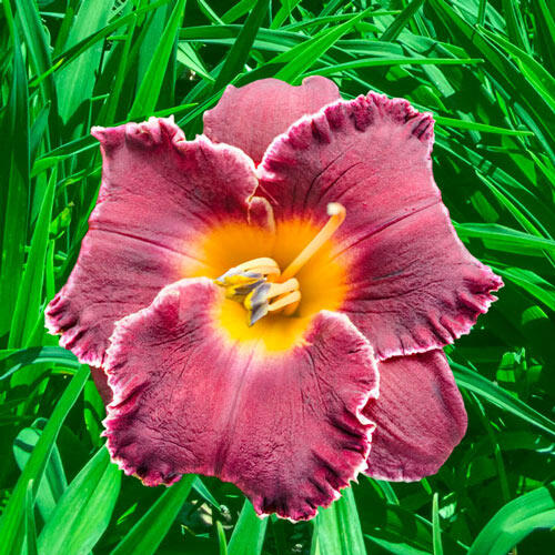 Night Whispers Reblooming Daylily