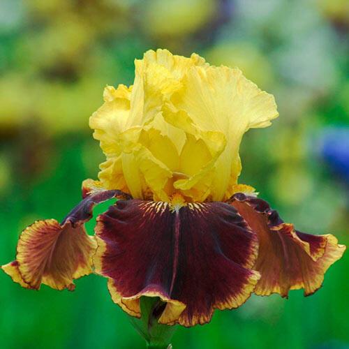Vintage Charm Reblooming Bearded Iris