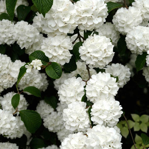 Snowball Viburnum Hedge
