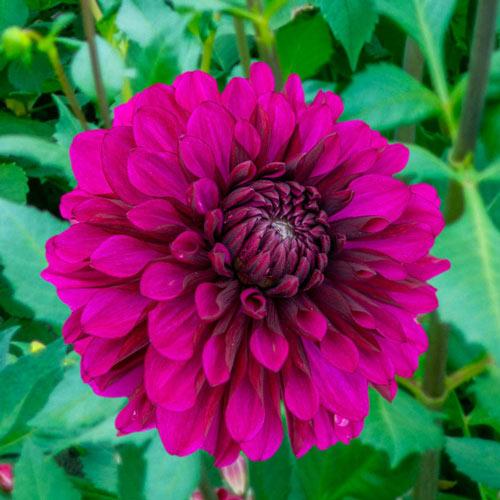 Purple Flame Dahlia