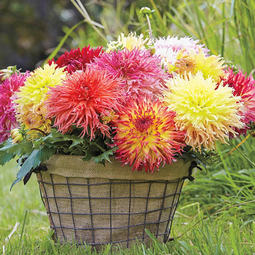 Fimbriata Dahlia Mixture