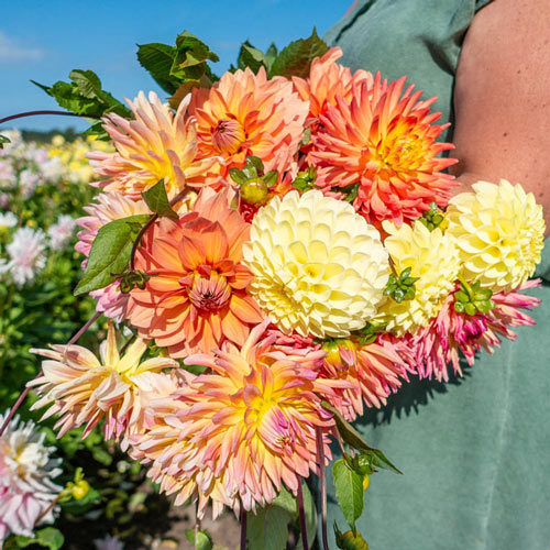 Monique's Choice Dahlia Mixture