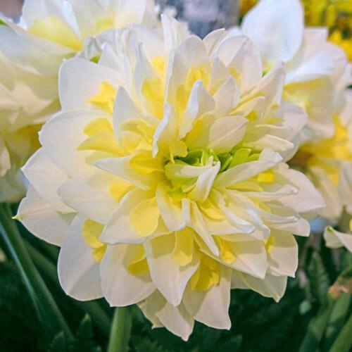 Irene Copeland Daffodil