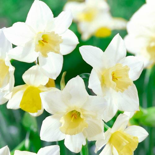 Pueblo Daffodil