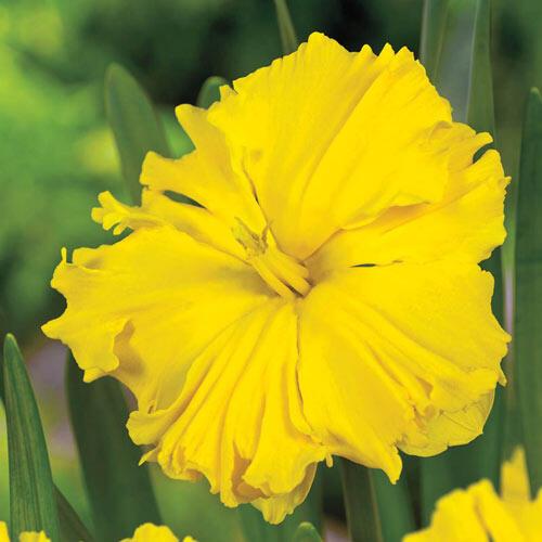 Sailorman Daffodil