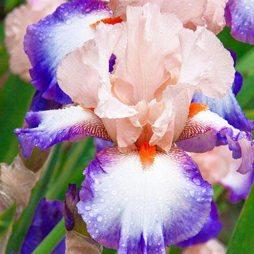 Lumarco Bearded Iris