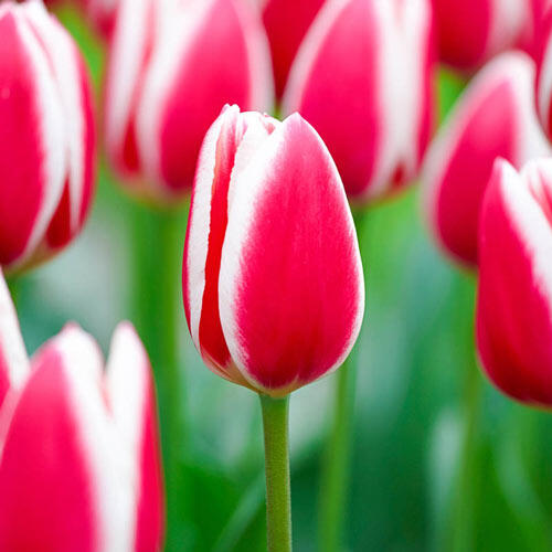 Candy Apple Delight Tulip