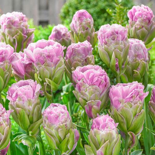 Violet Pranaa Tulip