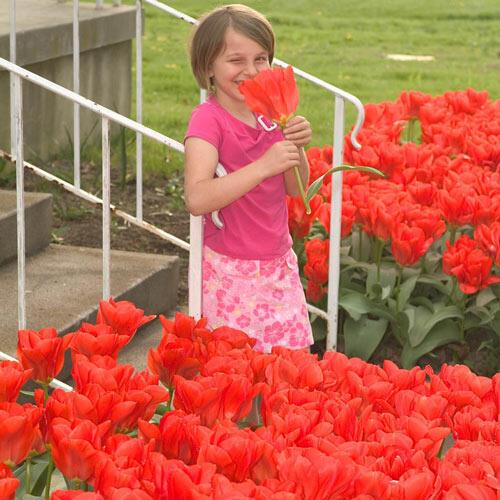 Red Emperor Tulip