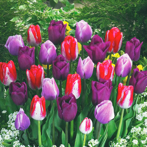 Special Triumph Tulip Mixture