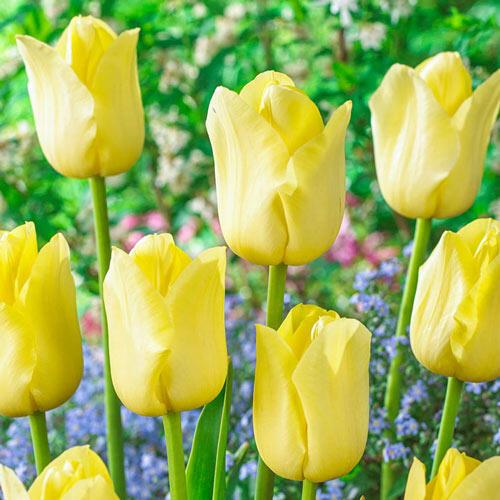 World Friendship Tulip