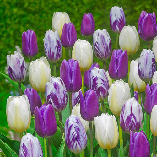 Royal Gathering Tulip Mixture