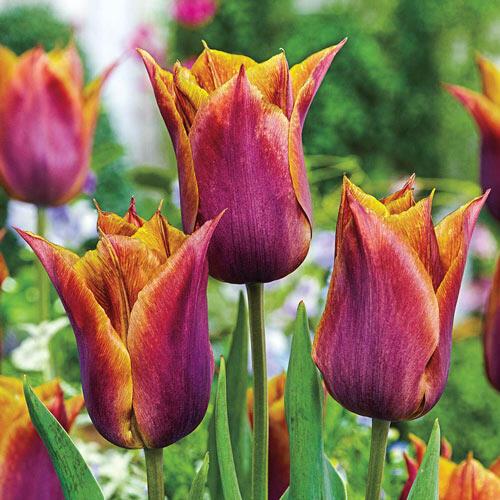 Request Tulip