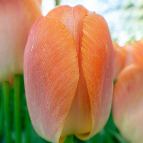 Orange Pride Tulip
