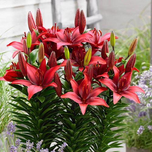 Cavoli Border Lily™