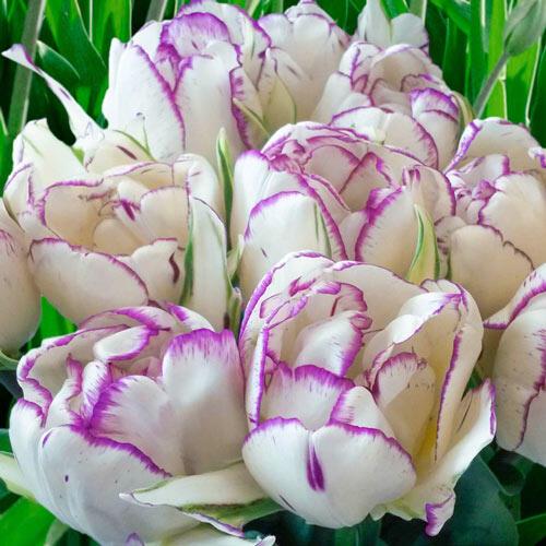 Shirley Double Tulip