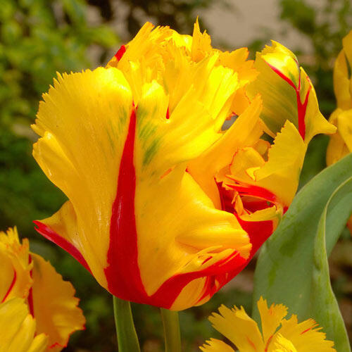 Texas Flame Tulip