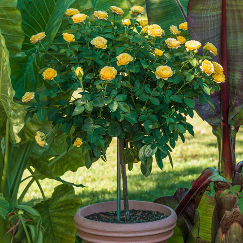 "Julia Child 18"" Patio Tree Rose"