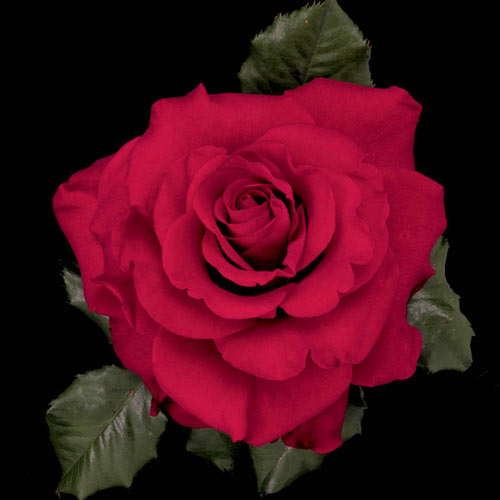 In the Mood™ Hybrid Tea Rose