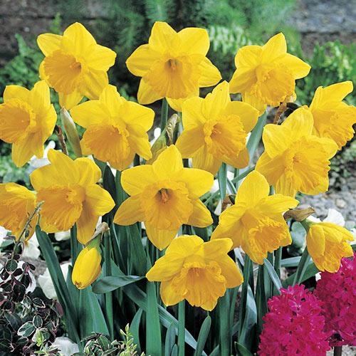 Dutch Master Daffodil Super Sak®